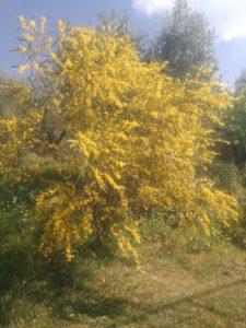 blooming of acacia
