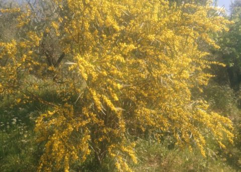 blooming of acacia